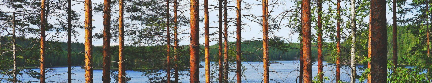 Mäntymetsä järven rannalla.