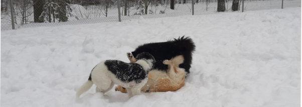 Koirat riehuvat Sulkavan koirapuistossa.
